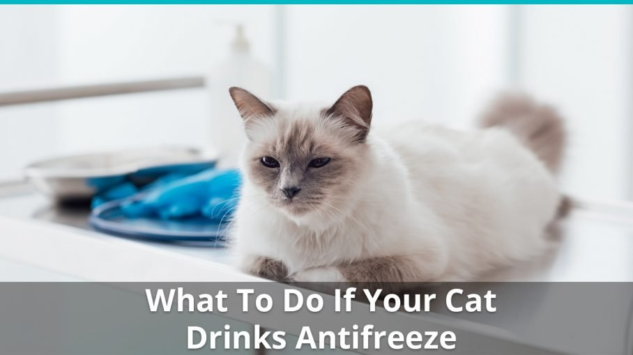 what to do if cat drinks antifreeze